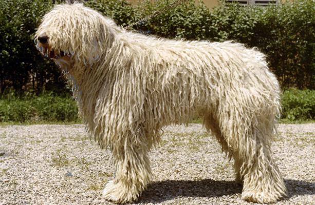 Komondor Nine Hungarian Dogs